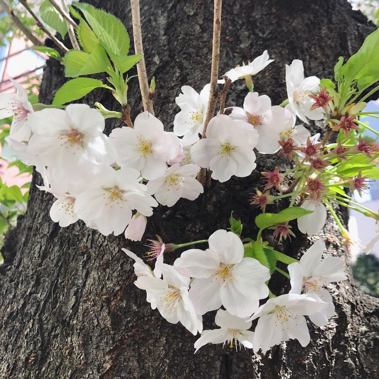 桜をパシャり